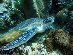 Schnorchelgebiete Philippinen_Schildkröte Philippinen