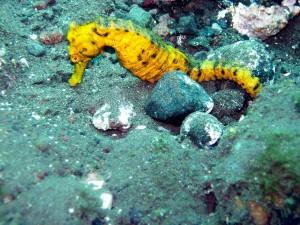 Seepferdchen-Schnorchelgebiete-Mexiko