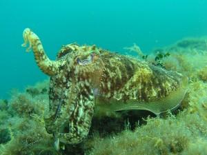Tintenfisch Schnorcheln